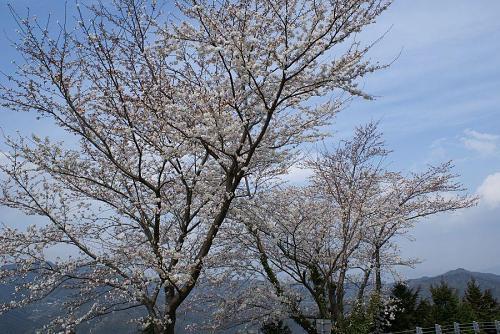 登るにつれいろんな種類の桜に出会えます。