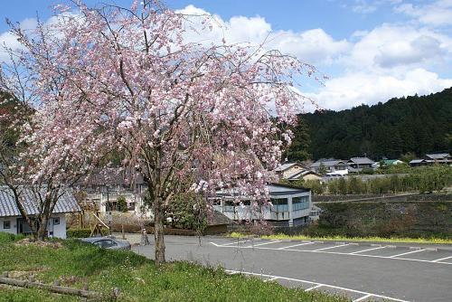 神山温泉付近の桜も今が見ごろです。