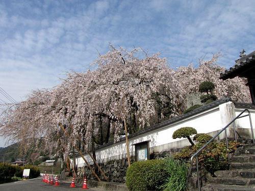 「東のしだれ」 風や雨が少し心配な状態です。 2009年4月3日(金)09:18撮影