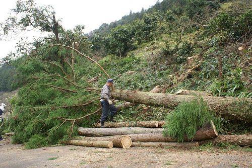 南斜面の杉やヒノキの大木の切り倒し作業。