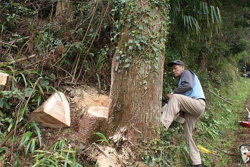 太陽を遮る南斜面の大木を切り倒します。