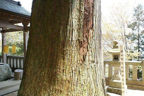 神山の銘木の一つ左手ノ宮の大杉