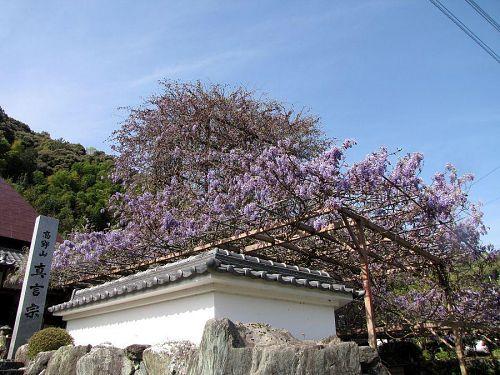 のぼり藤。低層部から開花が始まり、だんだんと天へと昇ります。(撮影:2009年4月18日09:03)