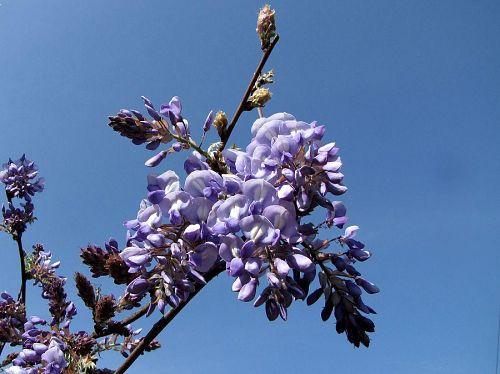 「のぼり藤」の花房の近景。2、3分といったところか?薄緑の葉が出てきた頃が一番美しいらしい。(撮影:2009年4月18日09:01)