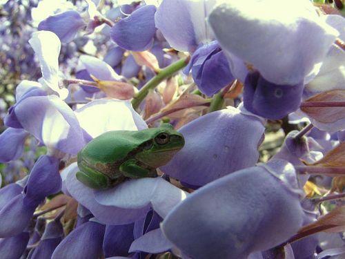 藤のフローラル・ベッドの上で佇むアマガエル。至福の候・・・。(2009年4月18日09:35撮影)