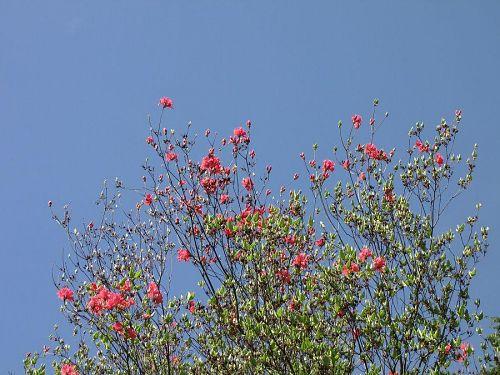 咲き始めたピンクのミツバツツジ。自然の生け花の感があります。爽やか・・・!(2009年4月22日10:41撮影)