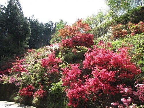 日当たりの関係でしょうか?入り口付近の開花がいくぶん早いようです。(2009年4月22日10:42撮影)