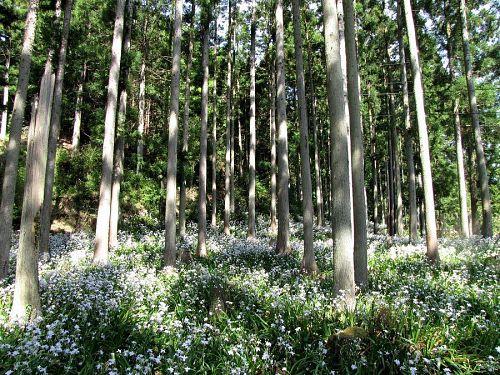 森づくりの手本を思わせる杉林には、雪を散らしたようなシャガの群生。時の経過をしばし忘れてしまうほど。(2009年4月22日10:44撮影)