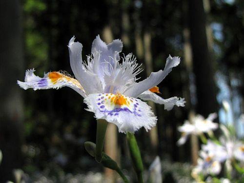 春日、春風を受けるしらさぎのような優雅さです。(2009年4月22日10:43撮影)