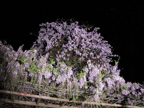 横山住職によると、もう少し若葉の緑が増した頃が最もきれいらしい・・・。(2009年4月21日21:02撮影)