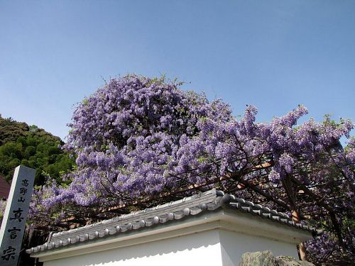 塀の白さ空の青さに、上品な藤色が一層引き立ちます。(撮影:2009年4月24日09:01)