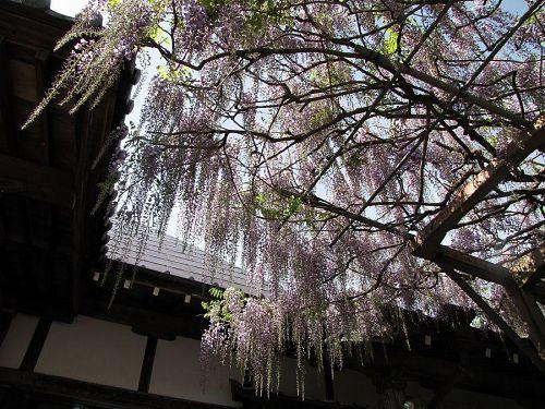 本堂側のシャンデリア状の花房は5分咲き。房の長さはまだまだ伸びて、倍くらいになるらしい。風流なウィステリアのすだれをお楽しみあれ!(撮影:2009年4月24日10:08)