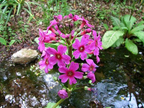 大きな根性葉から花茎を出し,濃い赤紫の花が車輪状に咲いています。(2009年5月10日13:44撮影)