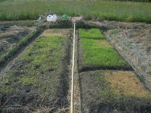 多家良の苗床。左の畝はモグラトンネルですかすか。