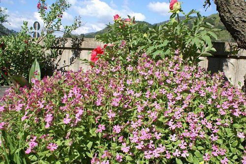 牡丹の周りに咲いているのがシレネという花。
