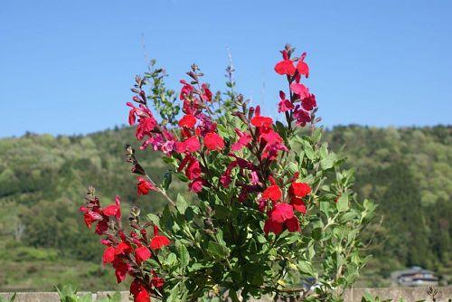 この花は実に長い期間花が楽しめる。
