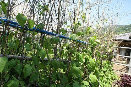 キュウリの支柱は枝つきの竹なので簡単。