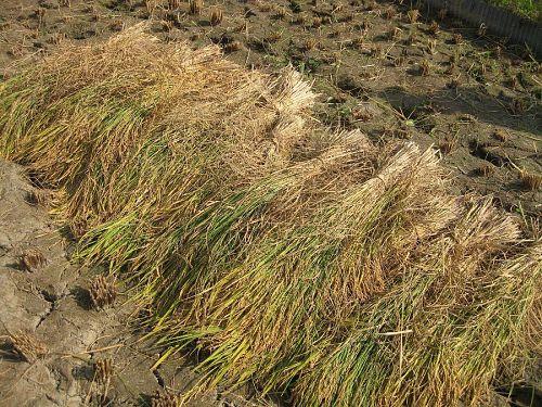 刈った稲。