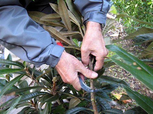 取り木用にご自身が考案された手製のナイフで表皮を剥がします。