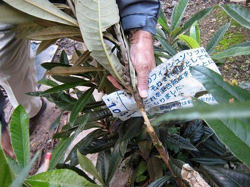甘皮まで剥ぎ取った幹を、ビニール袋の切れ端で包みます。