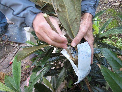 ビニールで包んだ内側にミズゴケを詰めます。皮を剥いだ幹を乾燥から守り、新しい根っこに水分と栄養を補給する役目が果たします。