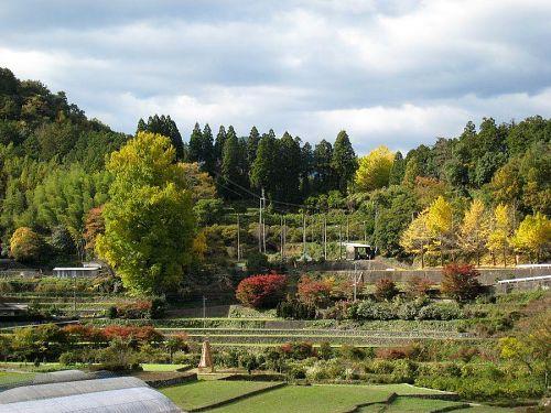 日々黄色い部分が増えていきます。右側の小さい木々には散り始めたものも。(2009年11月18日13:27撮影)