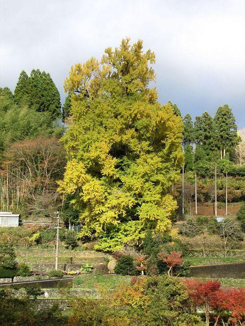 すべての葉っぱが一様に黄葉するわけではありません。その濃淡がまた美しいところ。 2009年11月25日09:04撮影