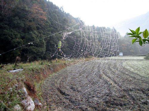 全身に露を浴びて佇む蜘蛛も、居心地のよさを享受。(2009年11月26日08:25撮影)