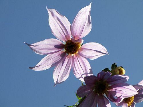手のひら大の花は淡いピンクで、品がある。