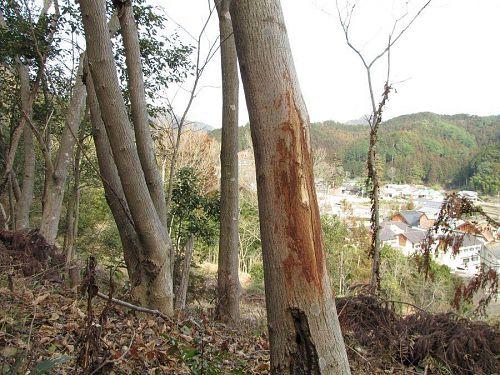 植栽地付近の木の幹。やはり鹿対策は不可欠のようです。