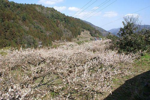 神山町は阿川だけでなく梅林は各所に見られます。