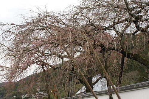 明王寺のしだれざくらも二分咲き。