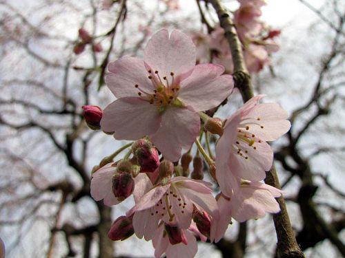 西のしだれ。咲き始めの頃は、ピンク色にも勢いがある。(2010年3月16日13:01撮影)