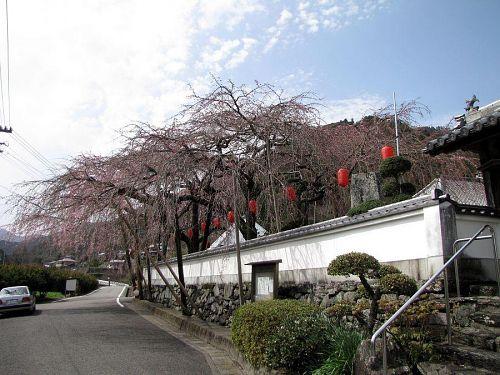 東のしだれ。開花が、(西に比べて)4、5日程度遅くなります。(2010年3月16日12:58撮影)