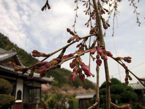 東のしだれ。あと一息といったところです。(2010年3月16日13:04撮影)
