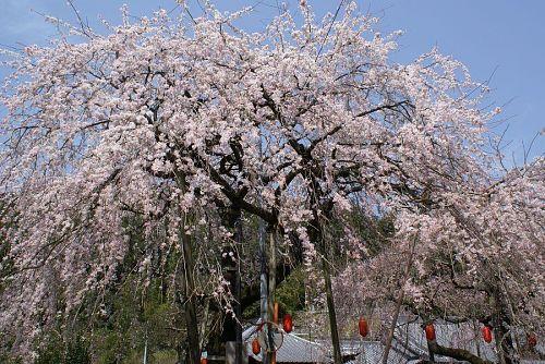 寺の境内にある二本の桜。実に見事です。