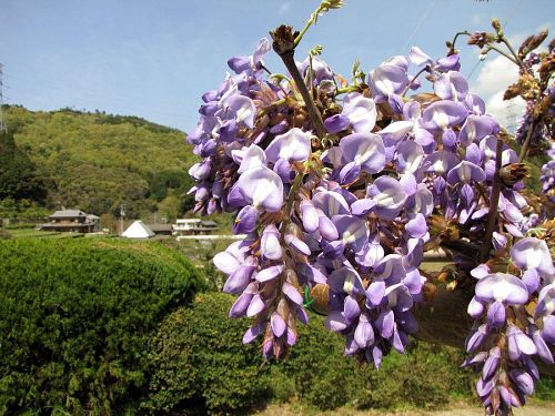 背丈の低い藤は五分咲きといったところです。(撮影2010年4月21日13:45)