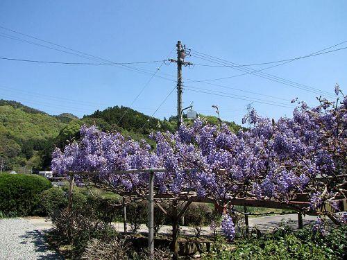 低木の方は8分咲き。芳しい香りが辺りを包んでいました。(撮影2010年4月25日11:23)