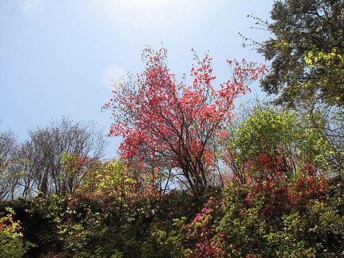 ミツバツツジは今が見頃。満開です。(撮影2010年4月25日12:05)