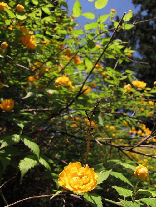 赤、朱、紫、桃のツツジとのコントラストで映えるヤマブキもある。(撮影2010年4月25日12:10)