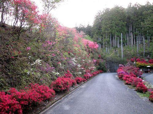 開花の早い入口付近は盛を過ぎ始めています・2010年4月29日18:02撮影
