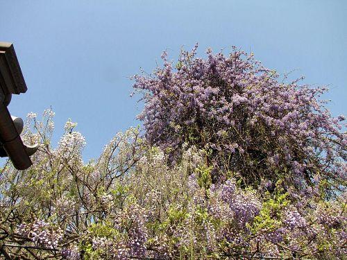 低い藤の花房はこれから開花を迎えます。撮影2010年4月30日09:48