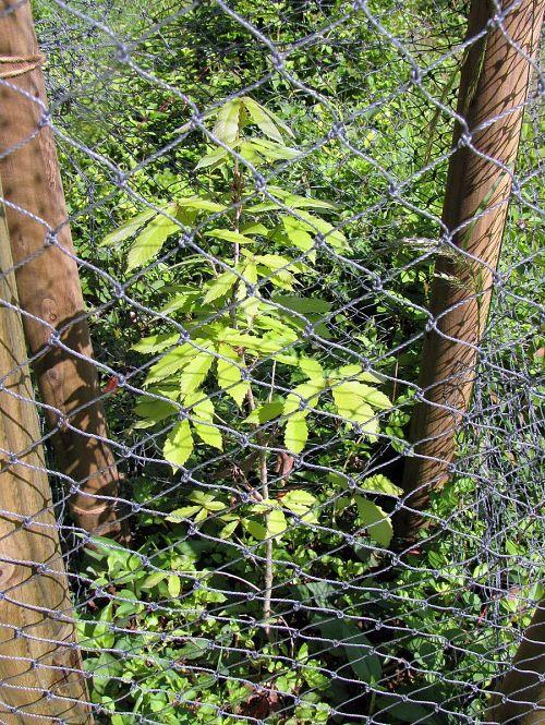 「コナラ」は繊細でシャープな感じ。成長した大木からは想像できないほど弱弱しい。(2010年5月13日撮影)
