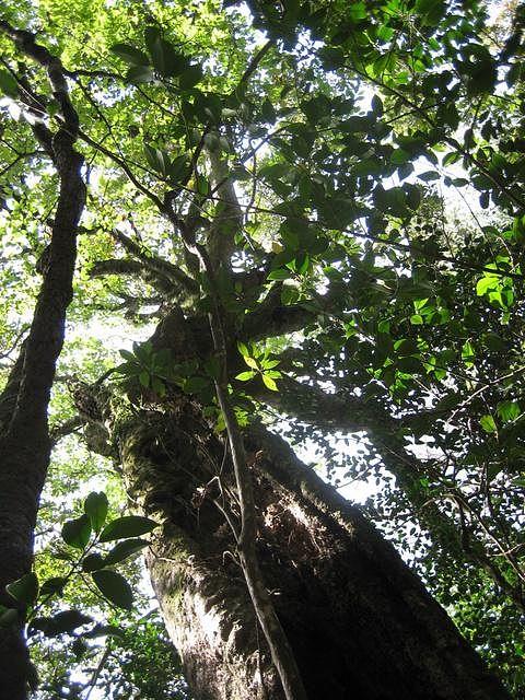 梼原 アカガシ 樹齢五百年の大木の森