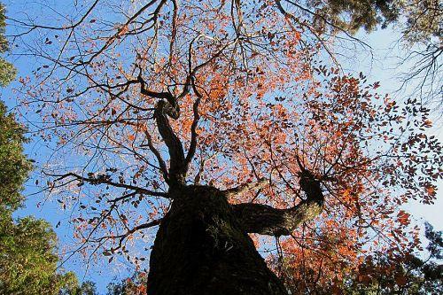 大粟山頂上森づくり広場にそびえるコナラ。こんな大木も元を辿れば小さな一個のドングリだったはず。ガンバリましょう!(2011年1月1日10:42JST)