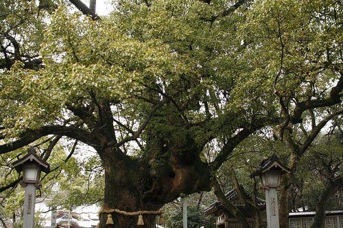 この御神木の穴にお賽銭を放るとご利益があるとかないとか。