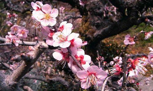 3月3日の寄井周辺に咲いていた梅です。寒い冬を越え、少しずつ春の気配が。