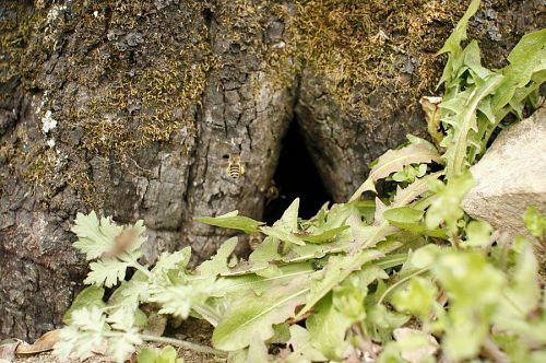 わかりますか?真ん中に羽ばたいているのは日本ミツバチ。巣を発見!
