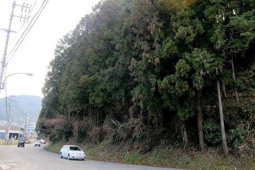 道路に覆いかぶさり、鬱陶しい状態で、運転の支障にもなっていました。(2011年3月13日08:44)
