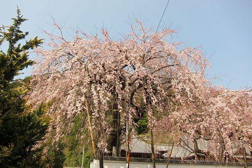 西の枝垂れ。数日早く開花、満開を迎えます。(2011年3月30日13:47撮影)